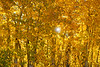 Fall colored Aspen Trees