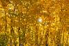 Fall colored Aspen Trees