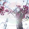 Waimea Cherry Blossom Festival