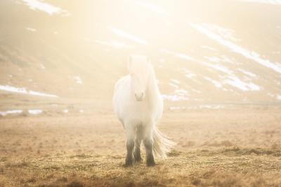 HorseIcelandHigh