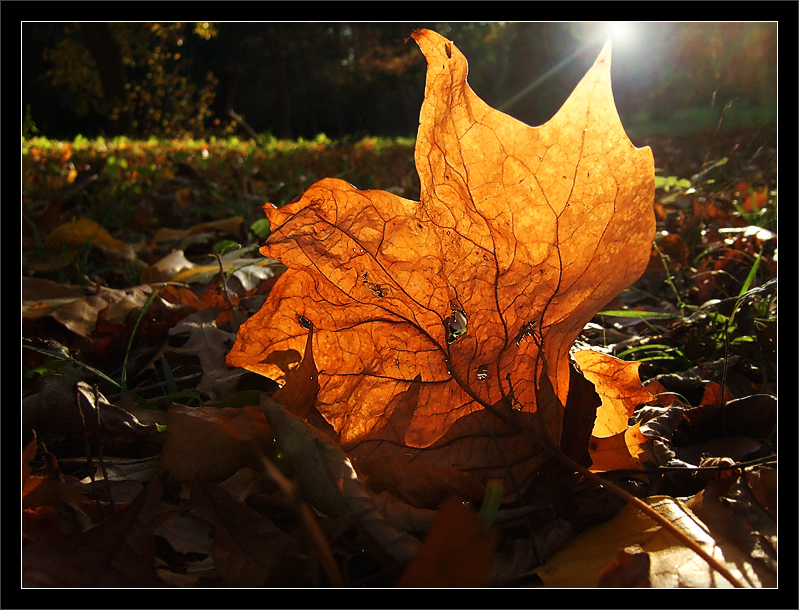 Sun on Newly Fallen Leaf  A new-fallen leaf sits in the late-afternoon sunlight  Hawthorn Valley, Nichols Arboretum University of Michigan, Ann Arbor  29-OCT-2007