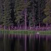 Pine Reflection