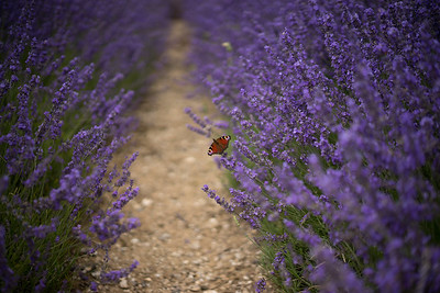 """Butterfly on Lavender"""