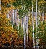 Aspens in Color