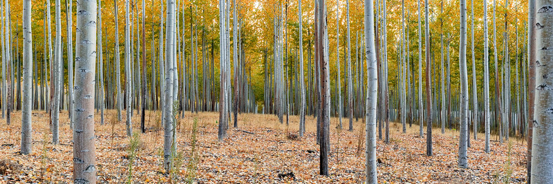 Poplar Wood Labyrinth