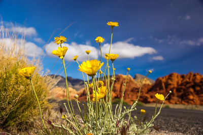 Desert Marigold, Red Rock Canyon, NV