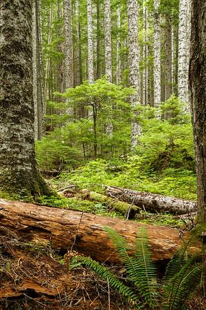 Woods, Westside Road, Mount Rainier National Park