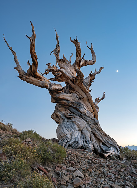 moonset over the ancient bristlecone pine forest