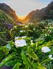 Big Sur calla lilies