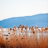 Utah Lake Cattails