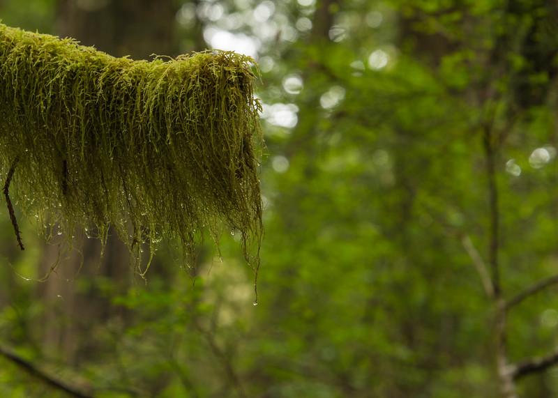 Redwood Forest