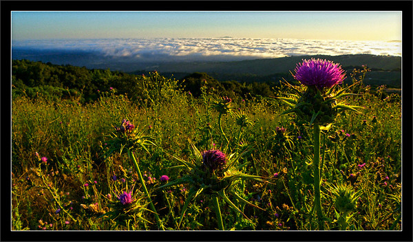 Milk Thistle Sunrise  A field of milk thistles overlooks the San Francisco Bay Area and the foothills of Silicon Valley.  The sun peeks above the marine-layer clouds and the distant East Bay hills.  Russian Ridge Open Space Preserve Redwood City, California  26-JUN-2010