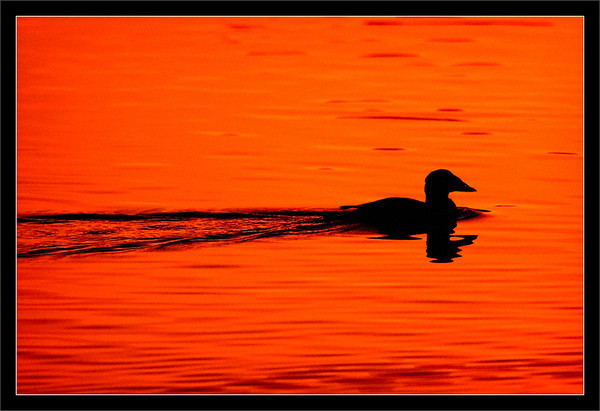 Surf Scoter Wake  A male surf scoter paddles across the sunset-tinted lake.  Shoreline Park Mountain View, California  18-JAN-2012