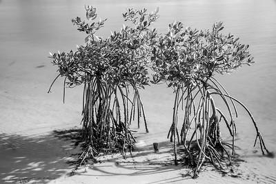 Mangrove Buddies