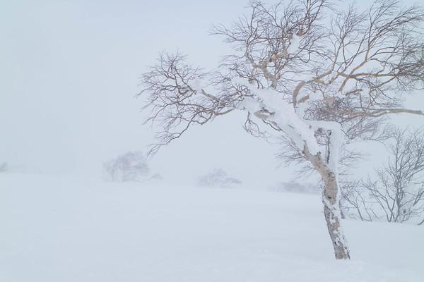 Silver Birch, Niseko Hirafu