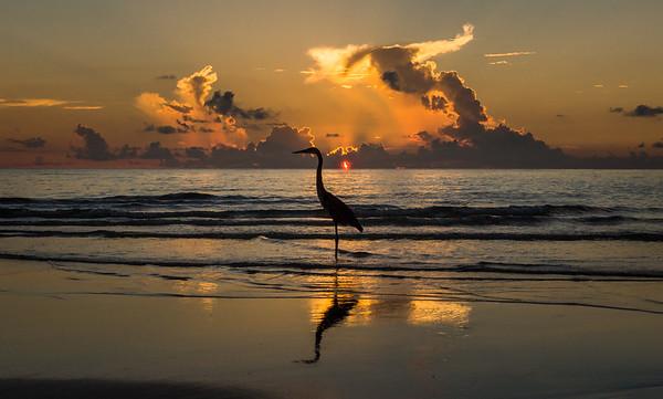 Great Blue Heron on South Beach Miami, FL