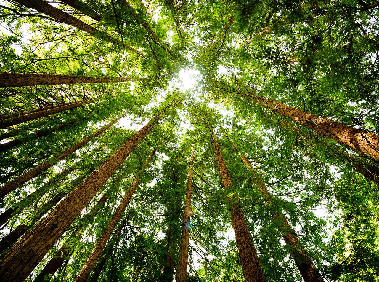 Converging Redwoods
