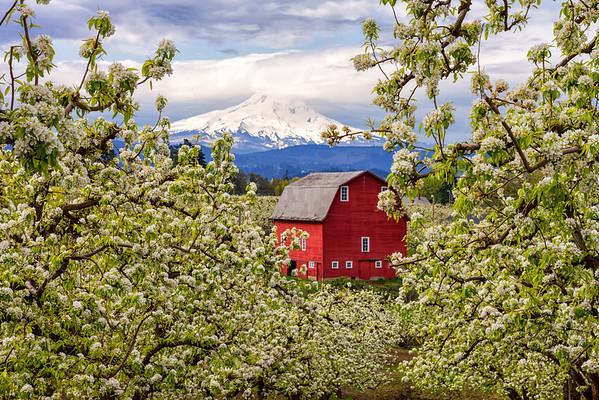 Orchard Skies