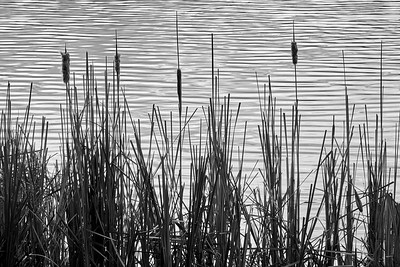 Cattails in a Minnesota marsh