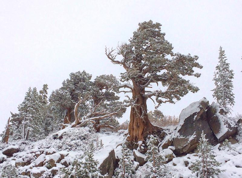 Snow Cedars