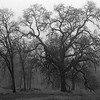 Oaks in Winter Fog