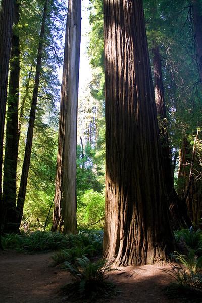 Redwood Forest Splendor