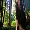 Redwood Forest Splendor