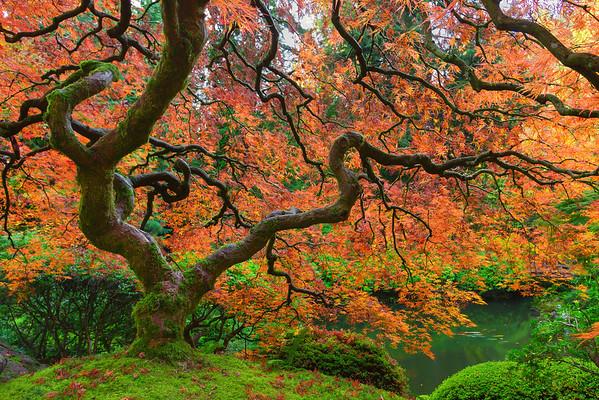 Japanese Maple & Koi