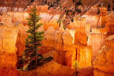 Pine Trees at Bryce Canyon, Utah
