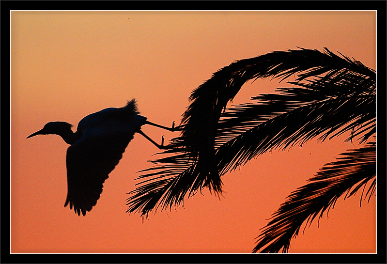 Palm Takeoff at Sunset  A snowy egret takes flight from a palm tree.  A setting sun lights the scene.  Palo Alto Baylands, California  17-APR-2010