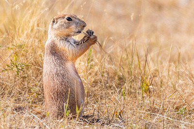 Prairie Dog - South Dakota