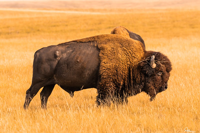 Bison - Badlands National Park, South Dakota