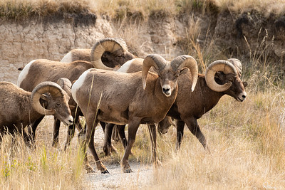 Bighorn Sheep - Badlands National Park, South Dakota
