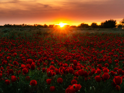 Magic sunset with poppies