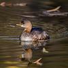 Juvenile duck