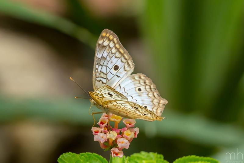 Butterfly Brazil Botantical