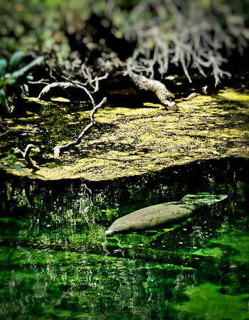 Manatee - Blue Springs, Florida