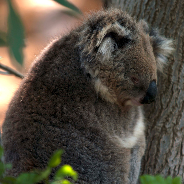 Koala (it's not a bear!)