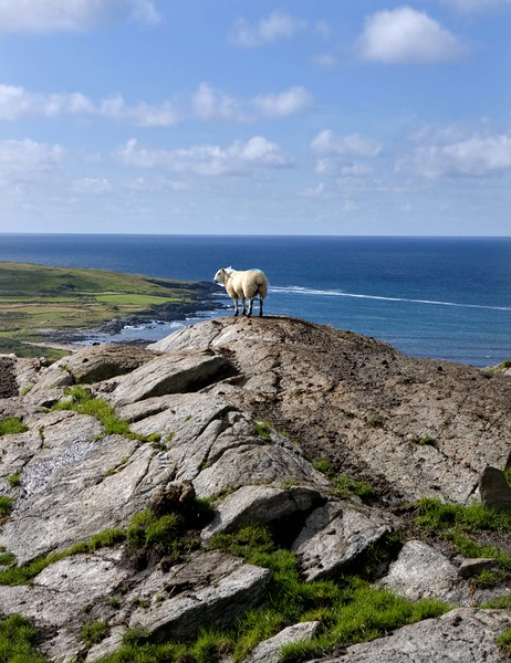 Loughros Sheep