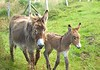 A 'pup donkey' (A family friend, who observed donkey foals, once commented 'oh look, there's some pup donkeys'. The comment has stuck, and every young animal is now a 'pup')