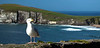 Kerry Seagull, Dingle Peninsula