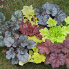 Heuchera & Heucherella collection