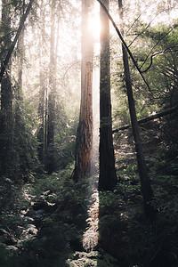 Twin Redwoods