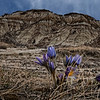 Wild Crocus in the Badlands