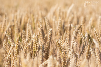 Wheat crop. Selective focus close-up of golden wheat ears