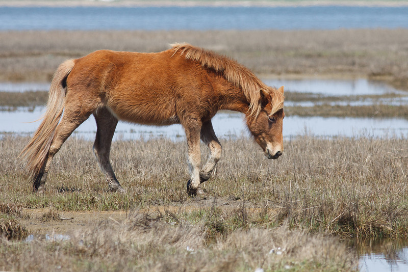 Wild Horses, Assateague Island National Seashore