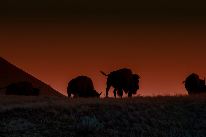 Bison, Badlands National Park