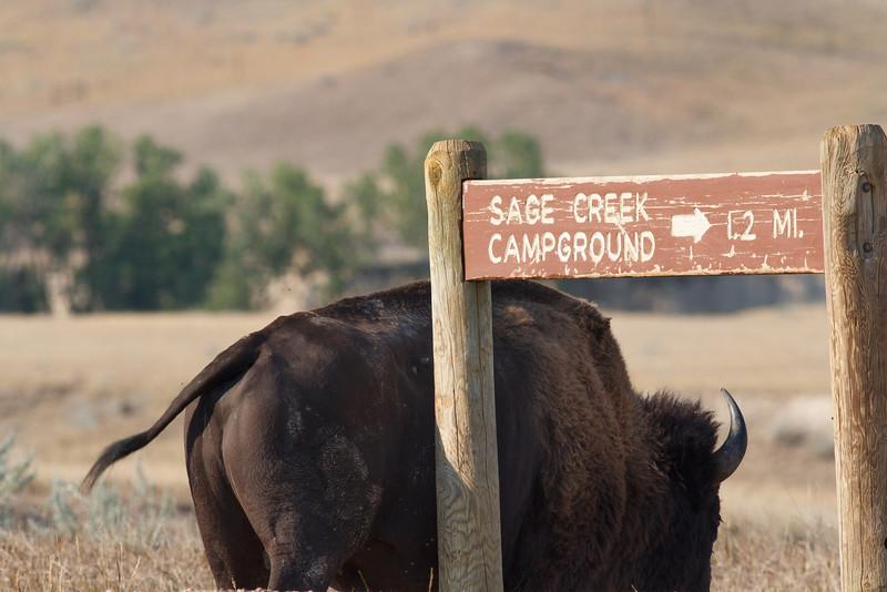 Bison, Badlands National Park