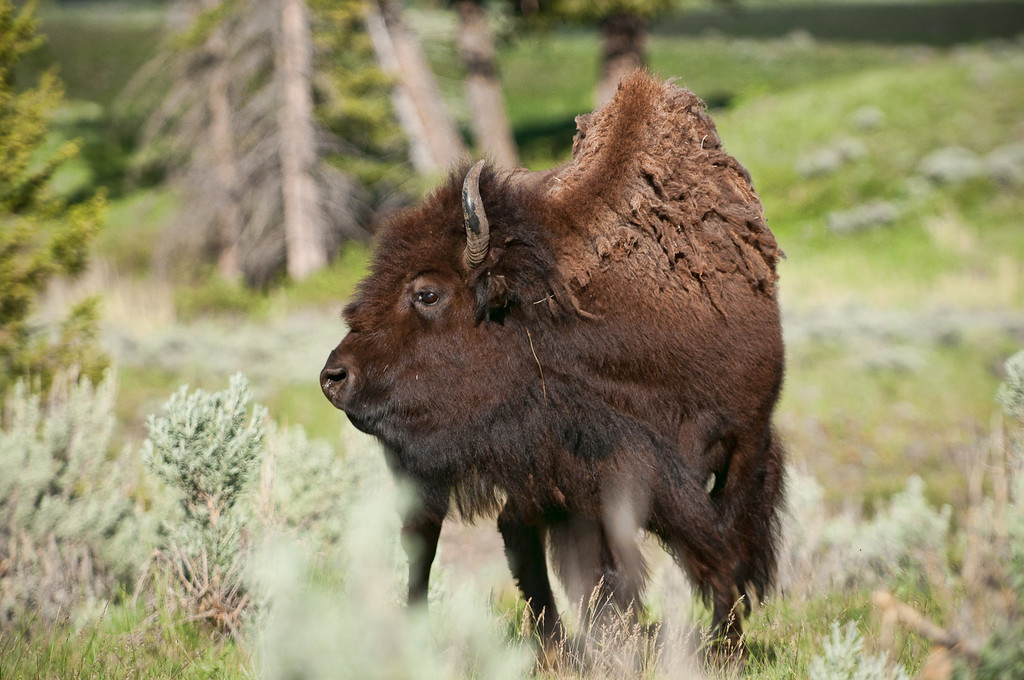 This image through to the end of the gallery are of bison in Yellowstone.