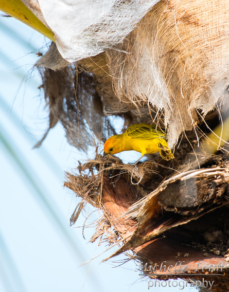 Yellow-Fronted Canary in the park